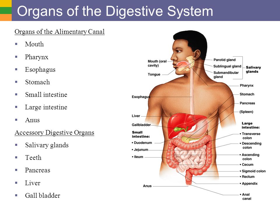 Digestive System I: Organs and Structure  General functions  Organs of the Alimentary Canal Mouth and Teeth Swallowing Pharynx, Esophagus oPropulsion Stomach Linings and Mesentaries Small Intestine Large Intestine