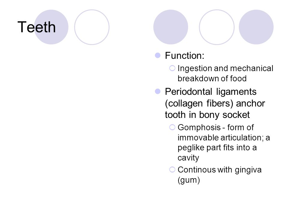 Teeth Function:  Ingestion and mechanical breakdown of food Periodontal ligaments (collagen fibers) anchor tooth in bony socket  Gomphosis - form of