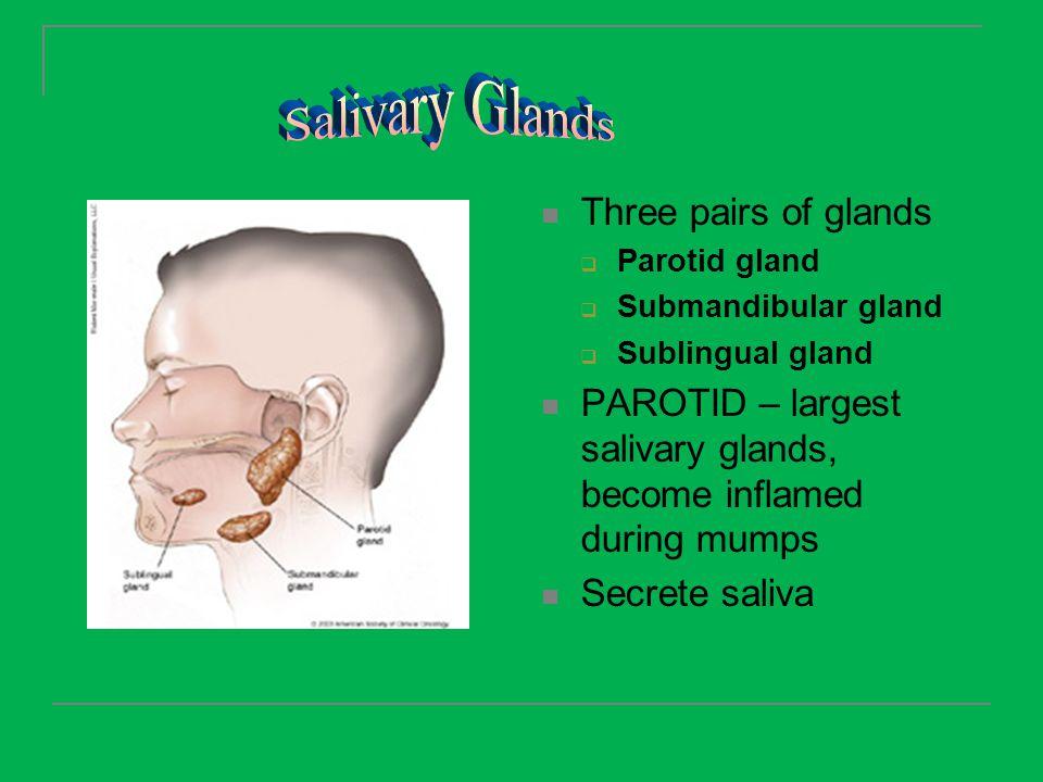 Three pairs of glands  Parotid gland  Submandibular gland  Sublingual gland PAROTID – largest salivary glands, become inflamed during mumps Secrete