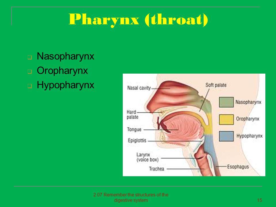 Pharynx (throat)  Nasopharynx  Oropharynx  Hypopharynx 2.07 Remember the structures of the digestive system15