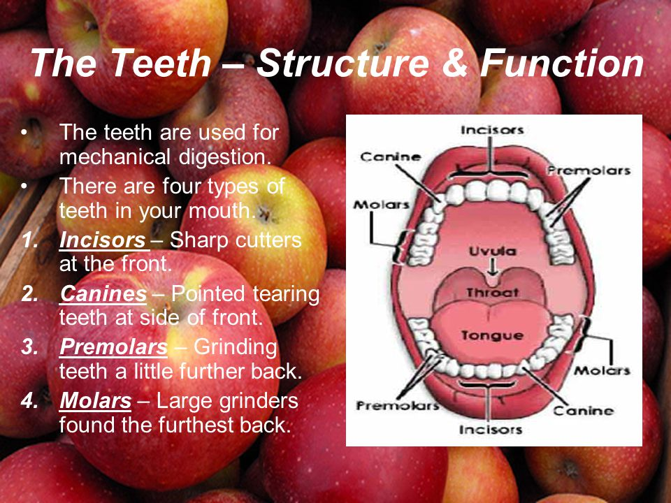 The Teeth – Structure & Function The teeth are used for mechanical digestion. There are four types of teeth in your mouth. 1.Incisors – Sharp cutters