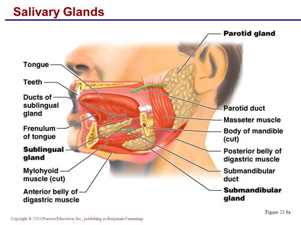 Copyright © 2004 Pearson Education, Inc., publishing as Benjamin Cummings Saliva: Source and Composition  Secreted from serous and mucous cells of salivary glands  A 97-99.5% water, hypo-osmotic, slightly acidic solution containing  Electrolytes – Na +, K +, Cl –, PO 4 2–, HCO 3 –  Digestive enzyme – salivary amylase  Proteins – mucin, lysozyme, defensins, and IgA  Metabolic wastes – urea and uric acid