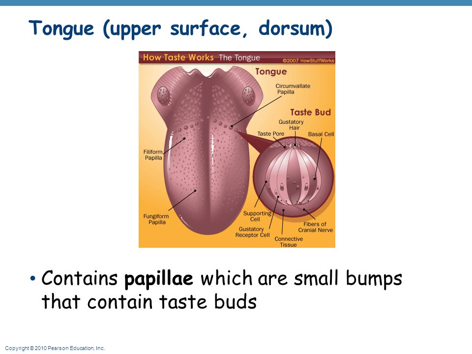 Copyright © 2010 Pearson Education, Inc. Tongue (upper surface, dorsum) Contains papillae which are small bumps that contain taste buds