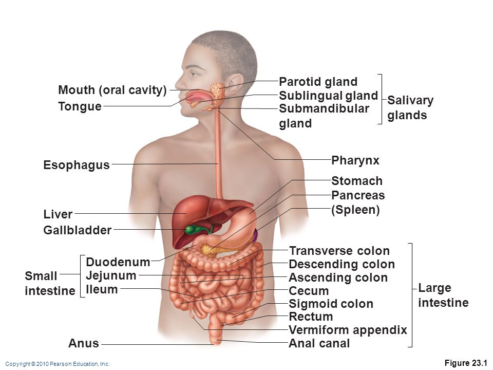 Copyright © 2010 Pearson Education, Inc. Figure 23.1 Mouth (oral cavity) Tongue Esophagus Liver Gallbladder Anus Duodenum Jejunum Ileum Small intestin