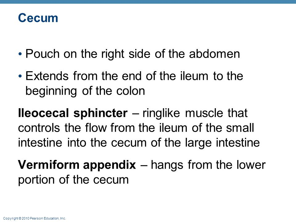 Cecum Pouch on the right side of the abdomen Extends from the end of the ileum to the beginning of the colon Ileocecal sphincter – ringlike muscle tha
