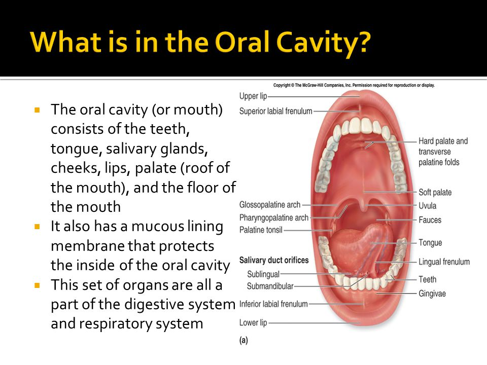  The oral cavity (or mouth) consists of the teeth, tongue, salivary glands, cheeks, lips, palate (roof of the mouth), and the floor of the mouth  It