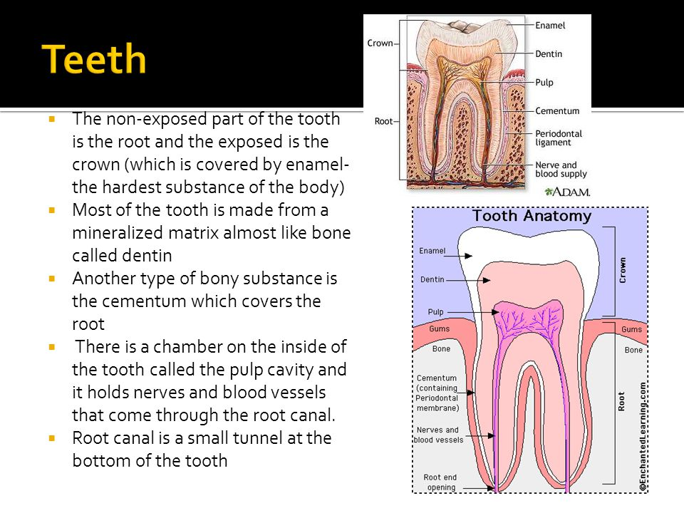  The non-exposed part of the tooth is the root and the exposed is the crown (which is covered by enamel- the hardest substance of the body)  Most of
