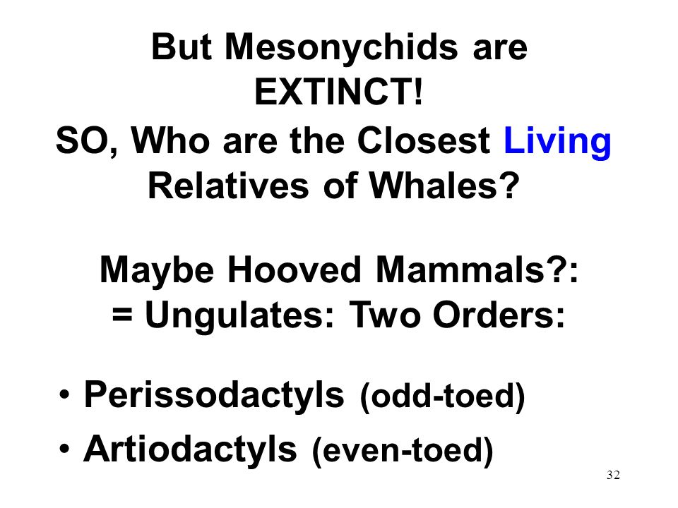 31 Whale Phylogeny, 1994 Hans Thewissen