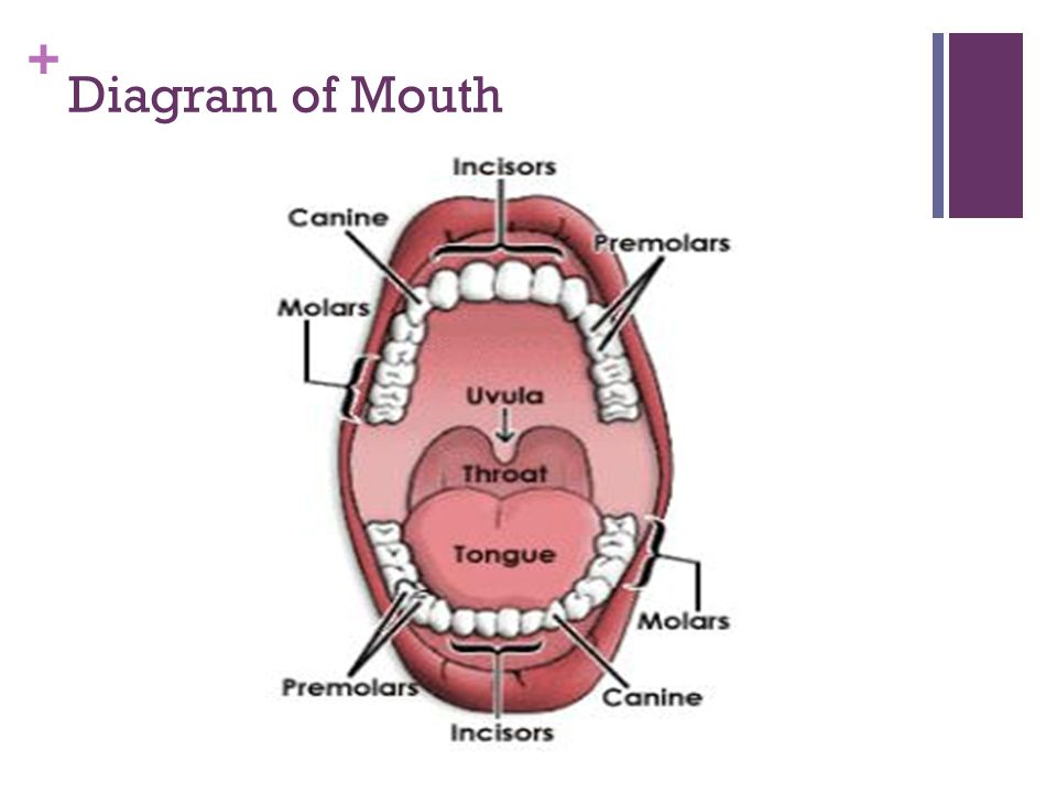 + Diagram of Mouth - Teeth