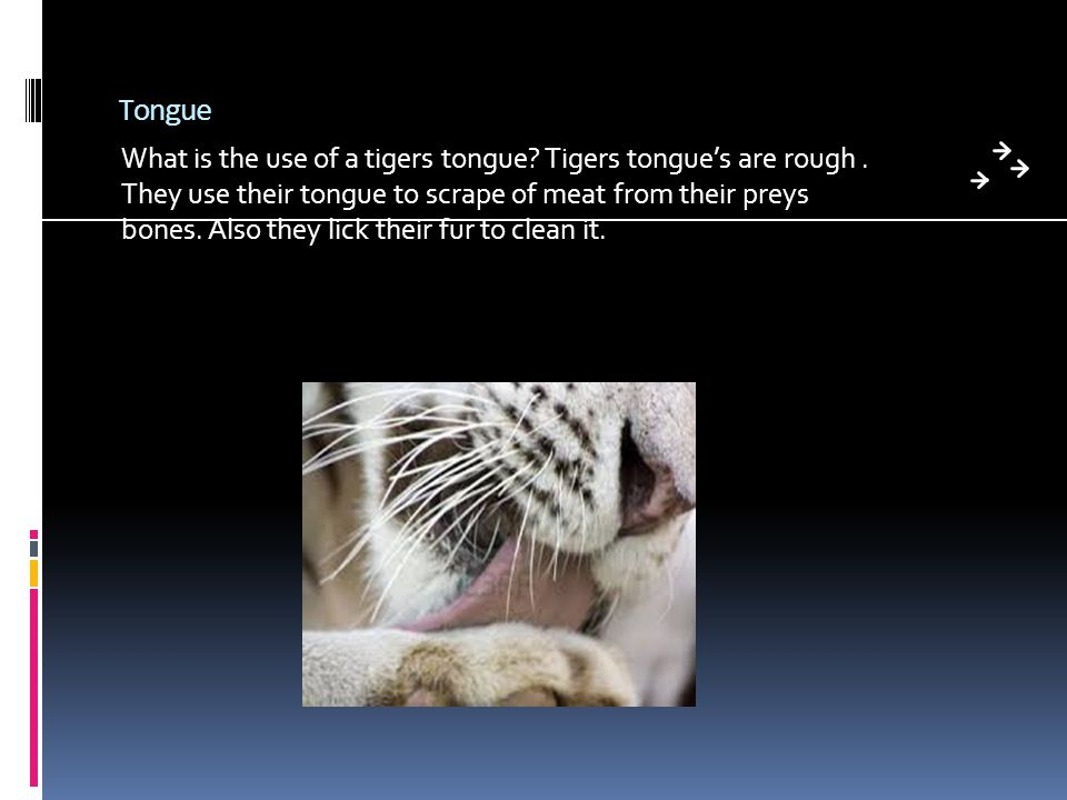 Tongue What is the use of a tigers tongue. Tigers tongue's are rough.