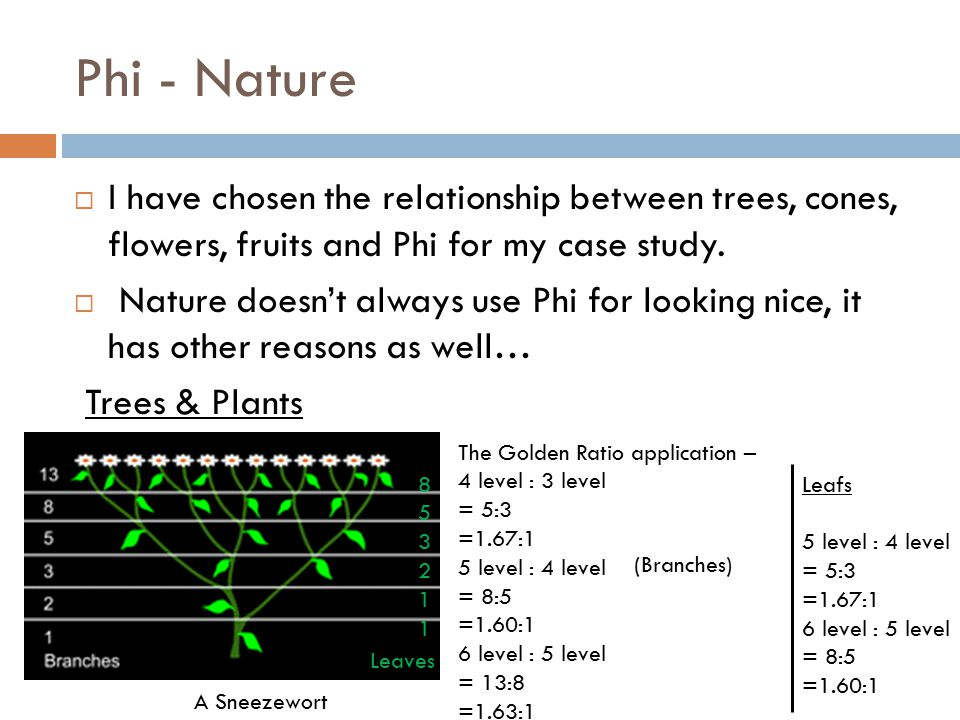 Phi - Nature  I have chosen the relationship between trees, cones, flowers, fruits and Phi for my case study.