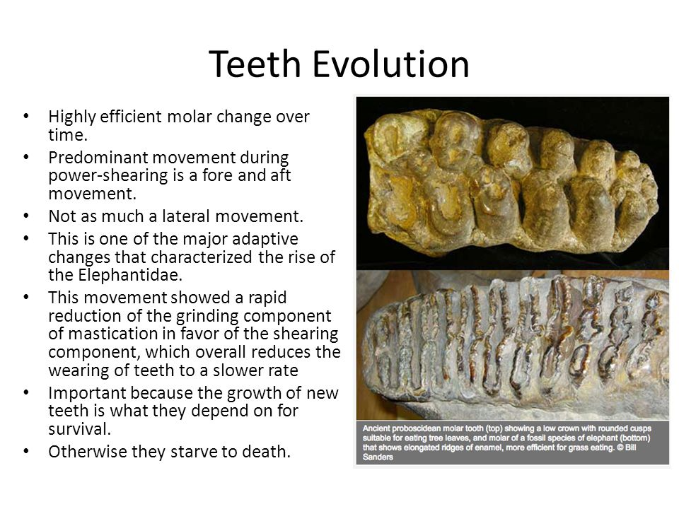 Teeth Evolution Highly efficient molar change over time. Predominant movement during power-shearing is a fore and aft movement. Not as much a lateral