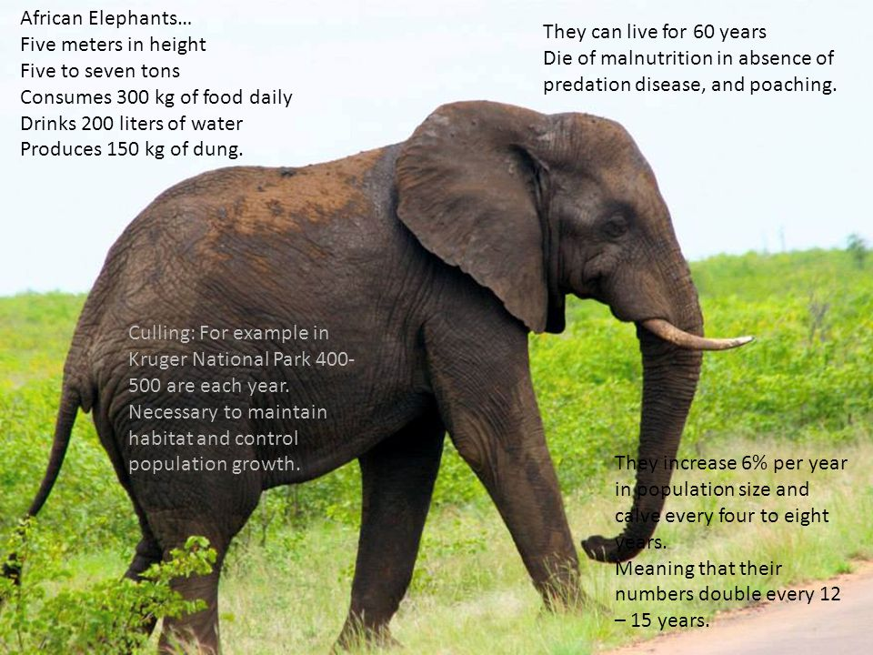 African Elephants… Five meters in height Five to seven tons Consumes 300 kg of food daily Drinks 200 liters of water Produces 150 kg of dung. They can