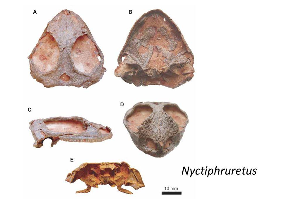 Nyctiphruretus