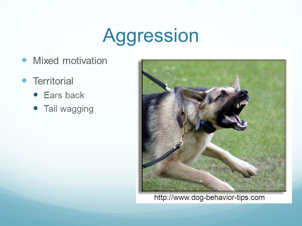 Aggression Mixed motivation Territorial Ears back Tail wagging http://www.dog-behavior-tips.com