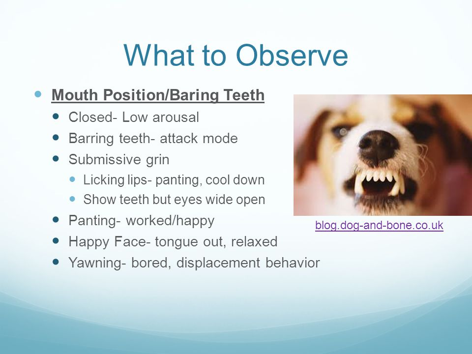 What to Observe Mouth Position/Baring Teeth Closed- Low arousal Barring teeth- attack mode Submissive grin Licking lips- panting, cool down Show teeth but eyes wide open Panting- worked/happy Happy Face- tongue out, relaxed Yawning- bored, displacement behavior blog.dog-and-bone.co.uk