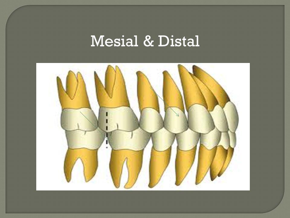Mesial & Distal
