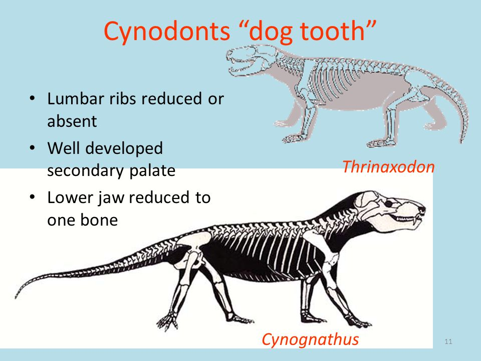 11 Cynodonts dog tooth Lumbar ribs reduced or absent Well developed secondary palate Lower jaw reduced to one bone Cynognathus Thrinaxodon