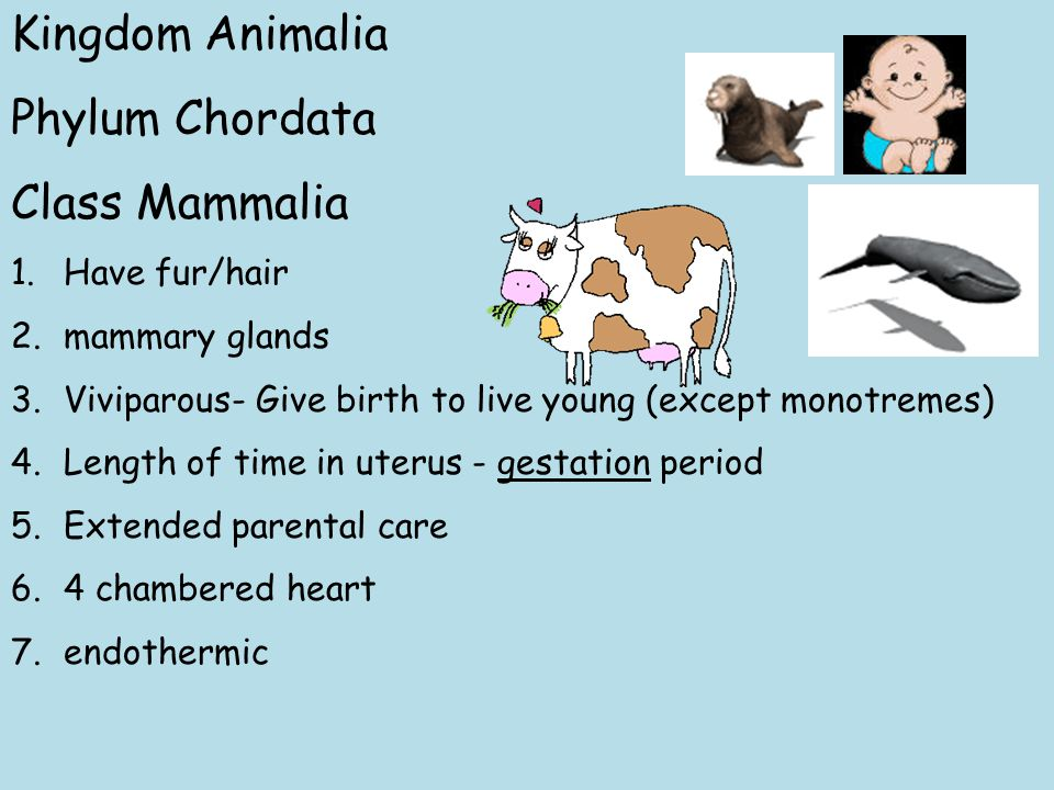 Kingdom Animalia Phylum Chordata Class Mammalia 1.Have fur/hair 2.mammary glands 3.Viviparous- Give birth to live young (except monotremes) 4.Length of time in uterus - gestation period 5.Extended parental care 6.4 chambered heart 7.endothermic
