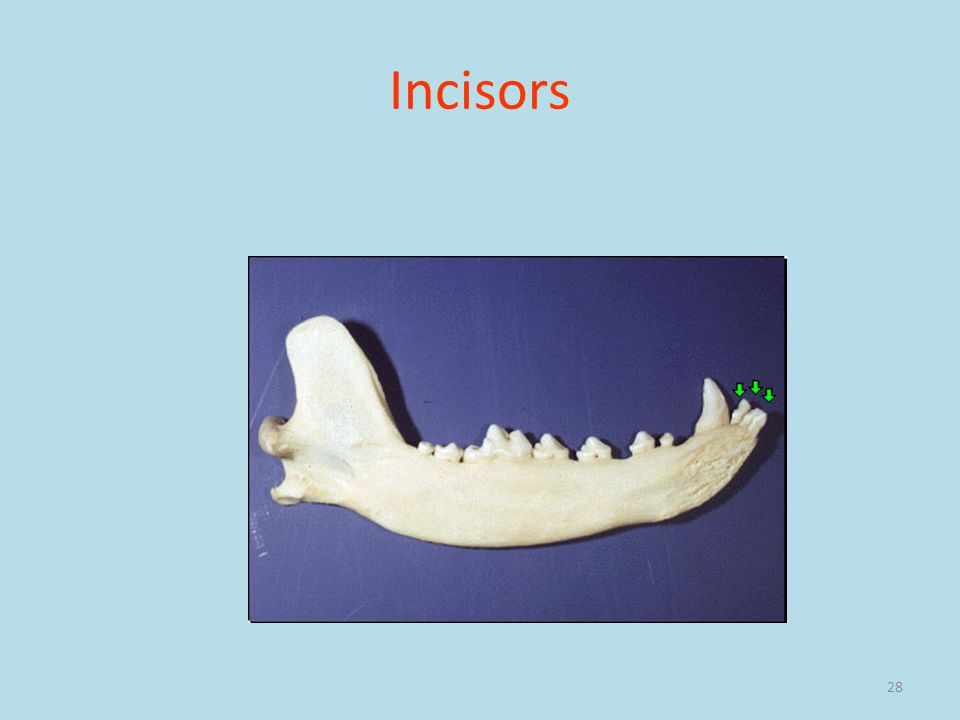 28 Incisors