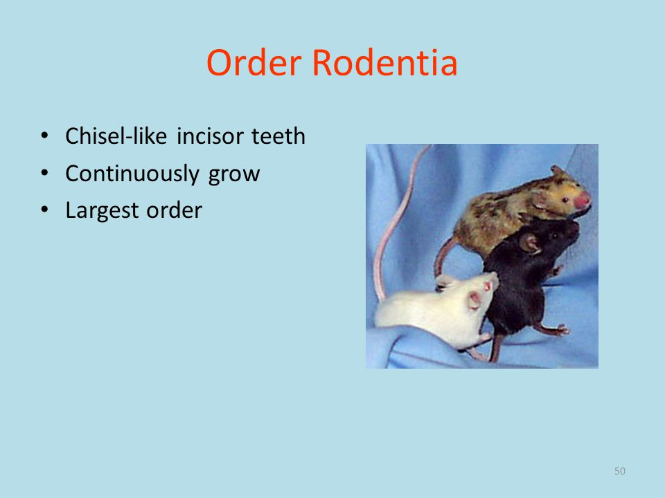 50 Order Rodentia Chisel-like incisor teeth Continuously grow Largest order