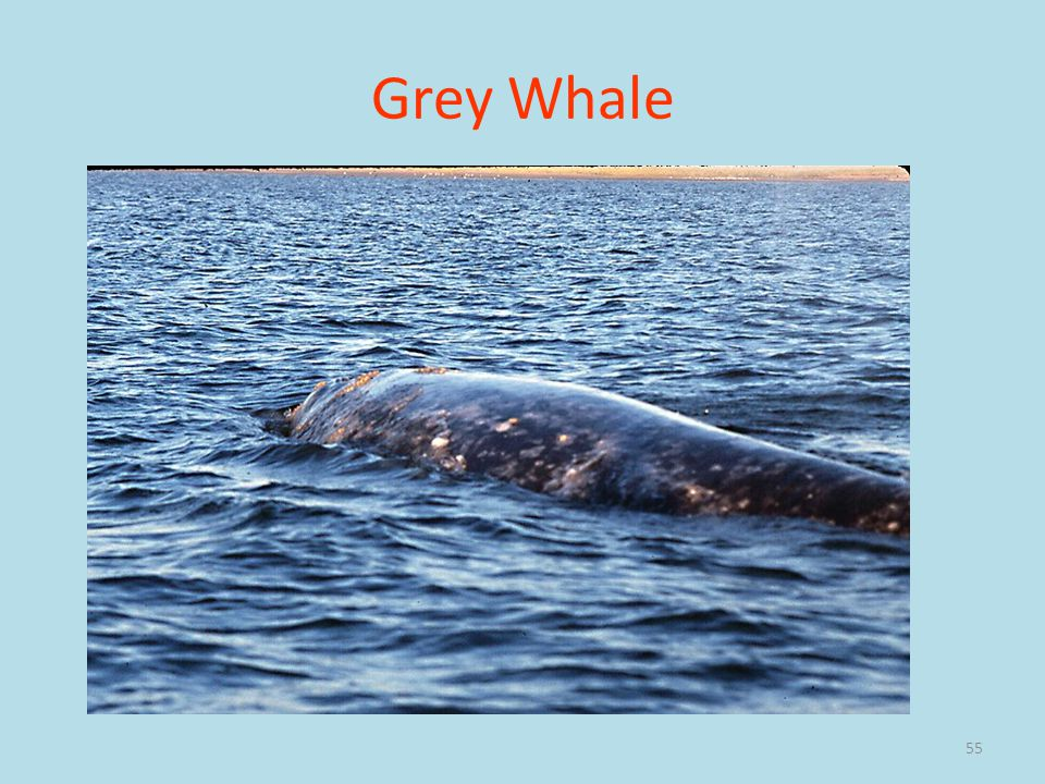 55 Grey Whale
