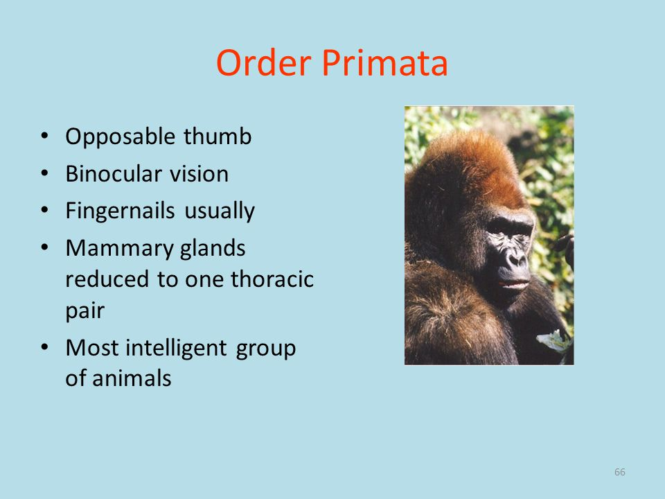 66 Order Primata Opposable thumb Binocular vision Fingernails usually Mammary glands reduced to one thoracic pair Most intelligent group of animals