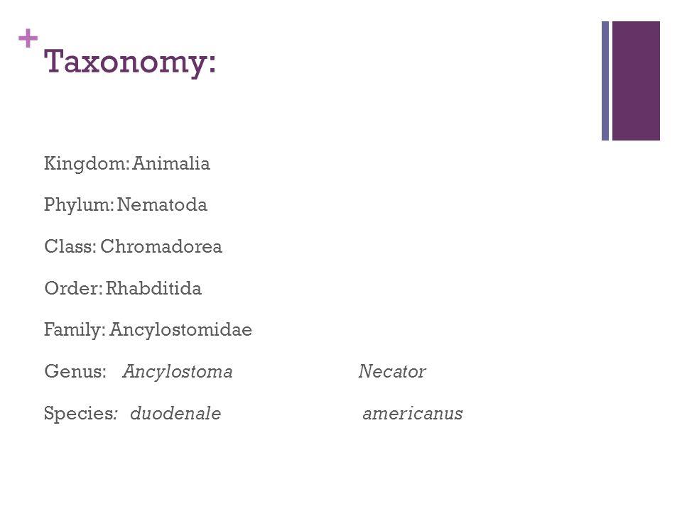 + Taxonomy: Kingdom: Animalia Phylum: Nematoda Class: Chromadorea Order: Rhabditida Family: Ancylostomidae Genus: Ancylostoma Necator Species: duodena