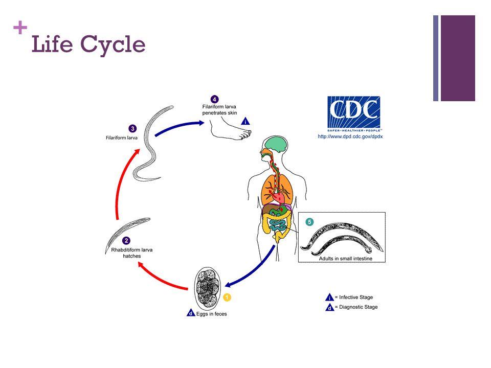 + Life Cycle