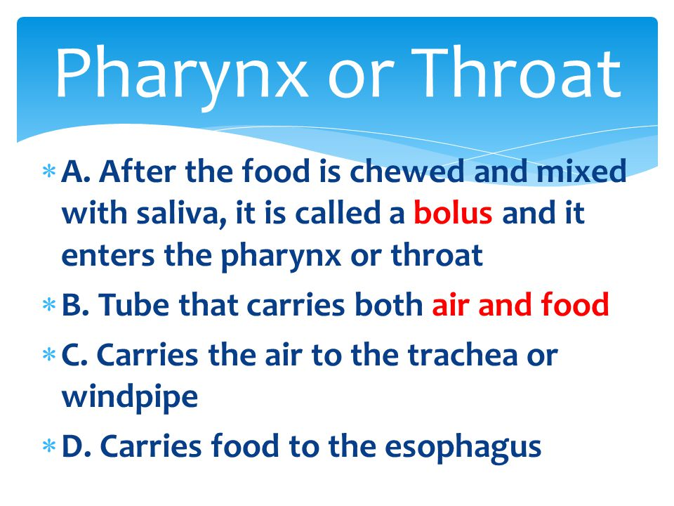  A. After the food is chewed and mixed with saliva, it is called a bolus and it enters the pharynx or throat  B. Tube that carries both air and food