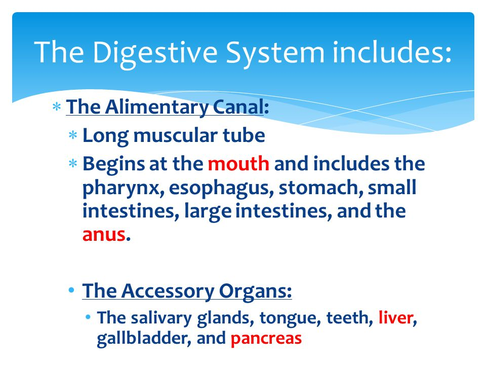  The Alimentary Canal:  Long muscular tube  Begins at the mouth and includes the pharynx, esophagus, stomach, small intestines, large intestines, a