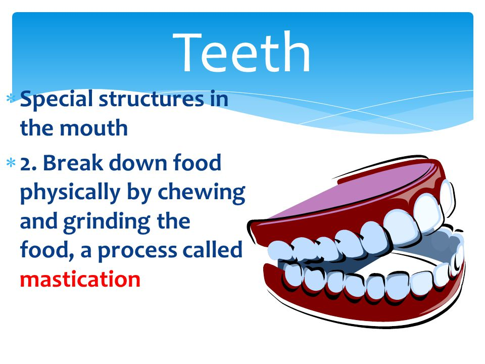  Special structures in the mouth  2. Break down food physically by chewing and grinding the food, a process called mastication Teeth