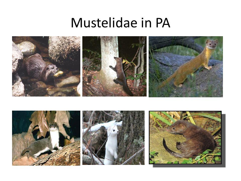 Mustelidae in PA