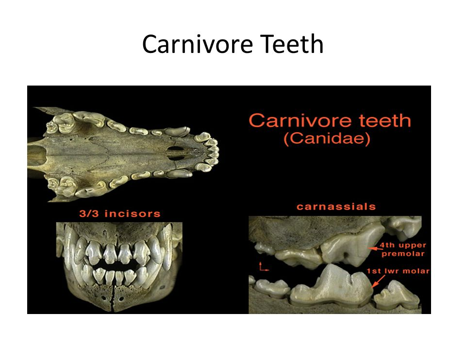 Carnivore Teeth