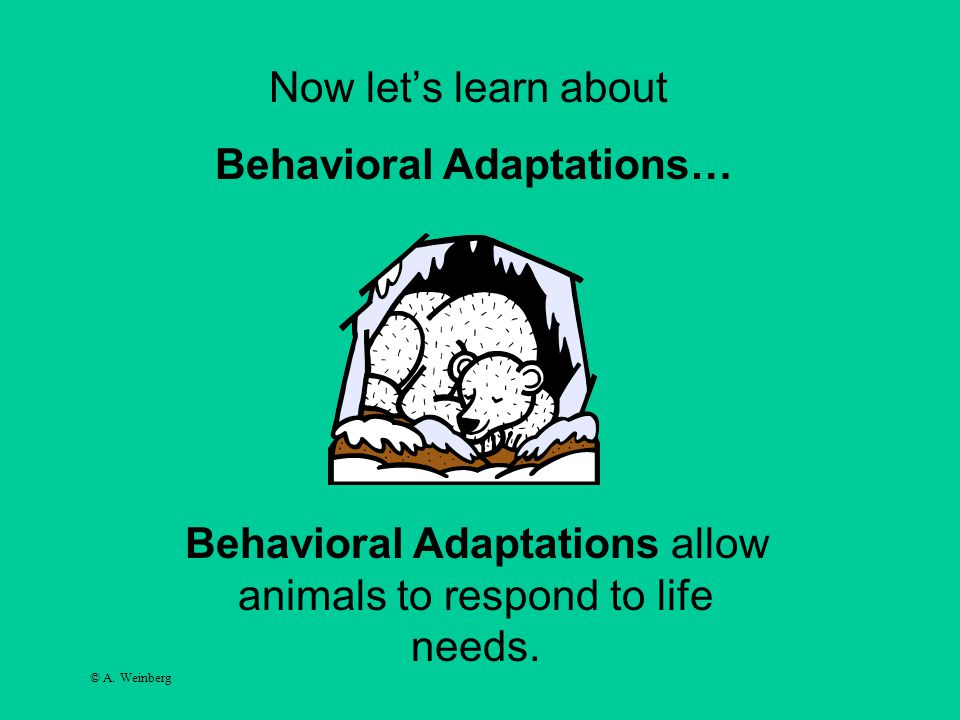 © A. Weinberg Now let's learn about Behavioral Adaptations… Behavioral Adaptations allow animals to respond to life needs.