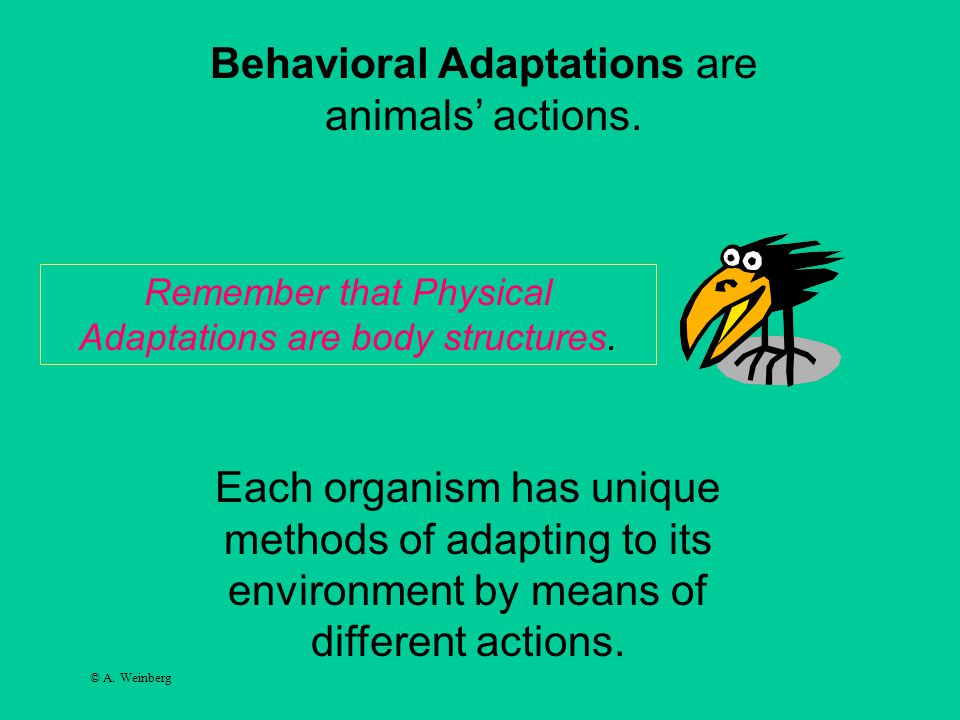 © A. Weinberg Each organism has unique methods of adapting to its environment by means of different actions. Behavioral Adaptations are animals' actio