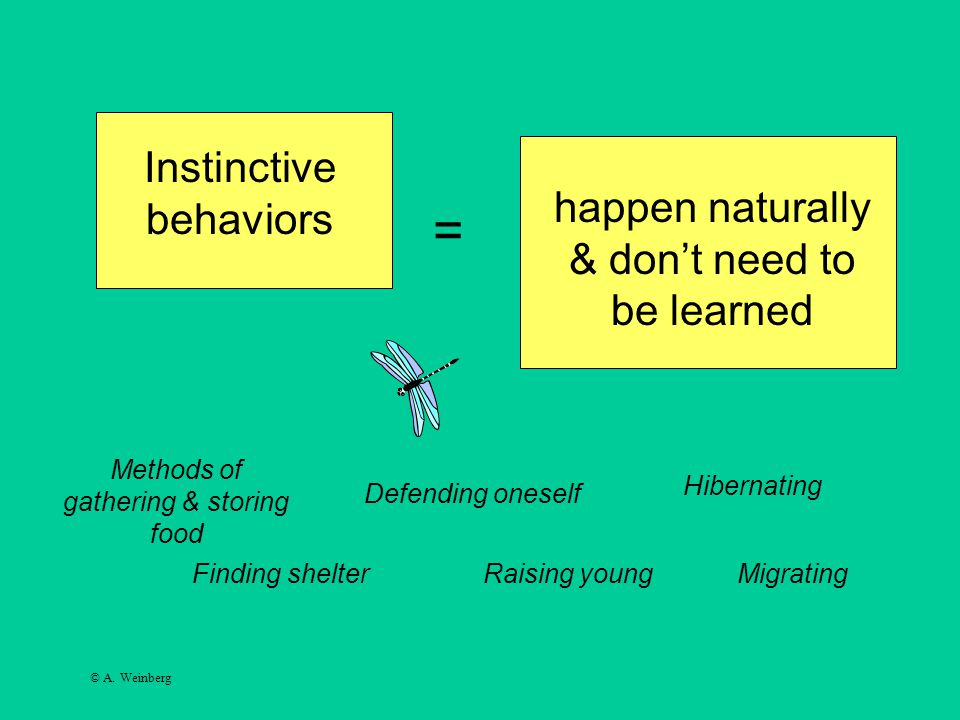 © A. Weinberg Instinctive behaviors happen naturally & don't need to be learned = Finding shelter Methods of gathering & storing food Defending onesel