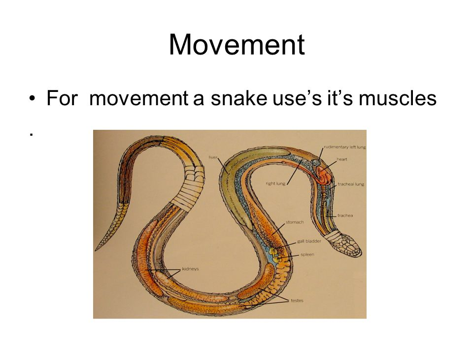 Movement For movement a snake use's it's muscles.