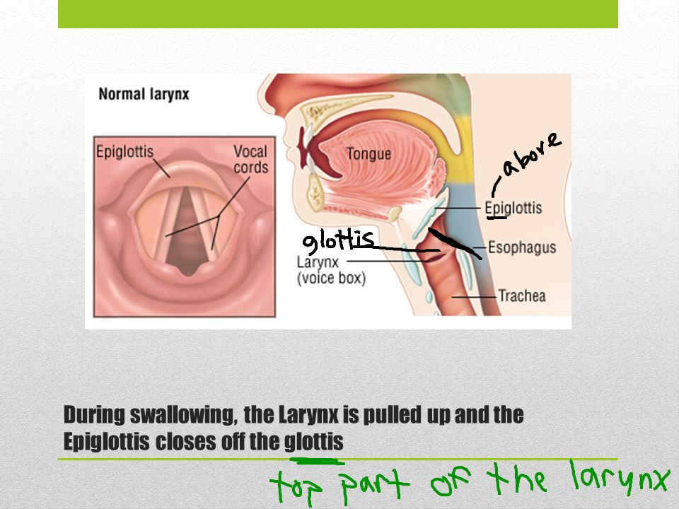 During swallowing, the Larynx is pulled up and the Epiglottis closes off the glottis