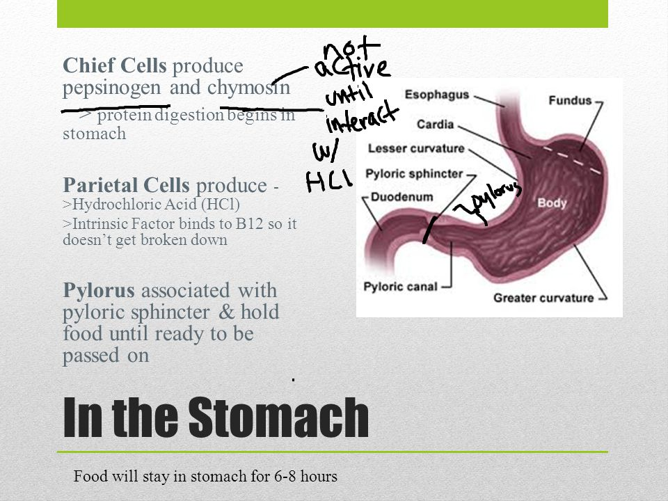 In the Stomach Chief Cells produce pepsinogen and chymosin > protein digestion begins in stomach Parietal Cells produce - >Hydrochloric Acid (HCl) >Intrinsic Factor binds to B12 so it doesn't get broken down Pylorus associated with pyloric sphincter & hold food until ready to be passed on Food will stay in stomach for 6-8 hours