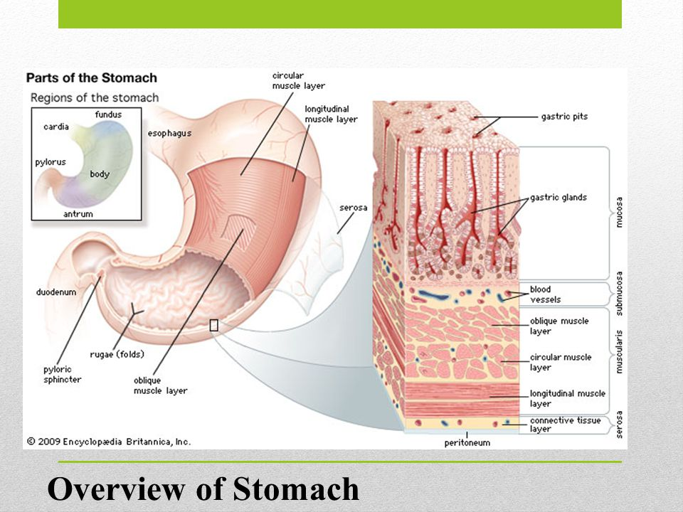 Overview of Stomach