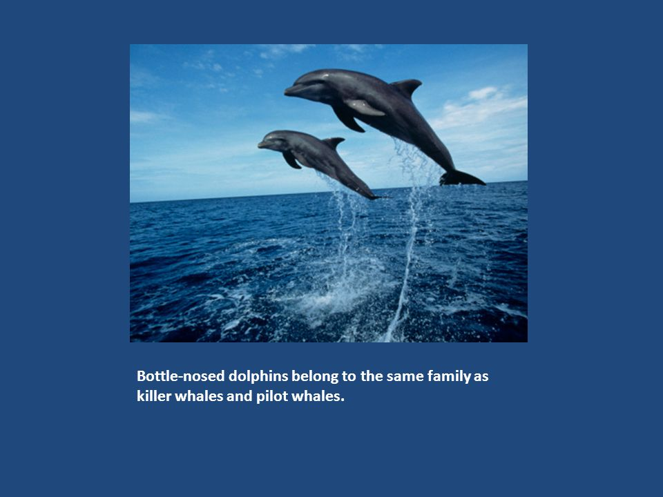 Most kinds of dolphins can somersault, or flip head over tail.