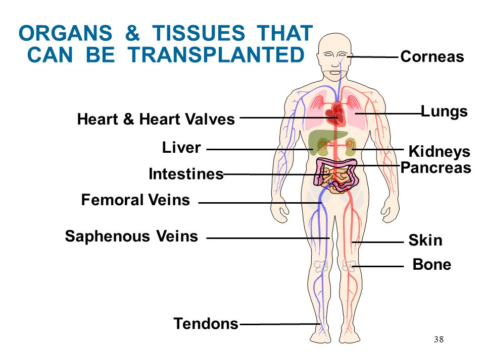 38 Intestines Lungs Kidneys Pancreas Corneas Liver Bone Skin Femoral Veins Saphenous Veins Tendons Heart & Heart Valves ORGANS & TISSUES THAT CAN BE TRANSPLANTED