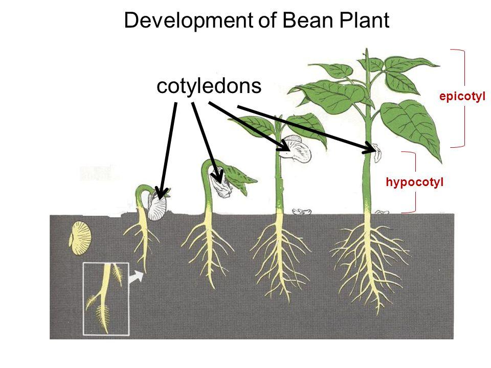 Development of Bean Plant cotyledons epicotyl hypocotyl
