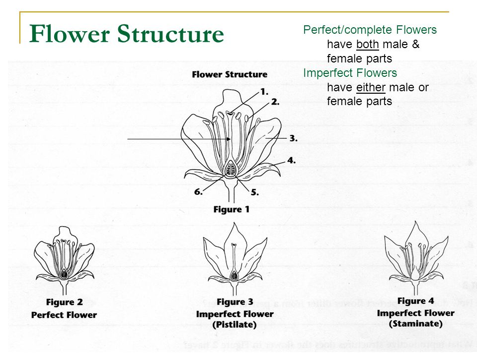 Flower Structure Perfect/complete Flowers have both male & female parts Imperfect Flowers have either male or female parts