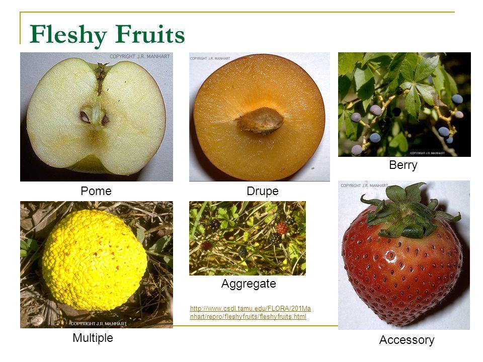 Fleshy Fruits PomeDrupe Berry Multiple Aggregate Accessory http://www.csdl.tamu.edu/FLORA/201Ma nhart/repro/fleshyfruits/fleshyfruits.html