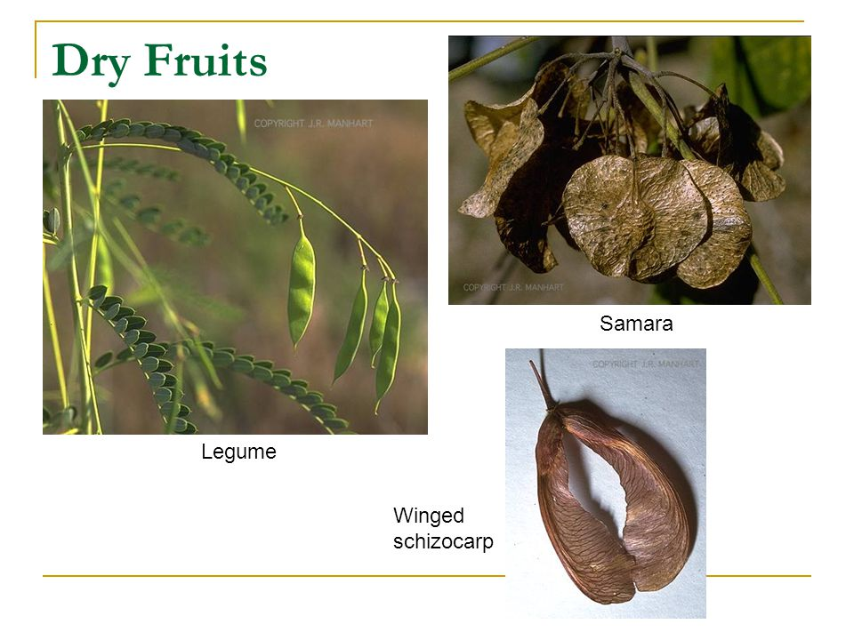 Dry Fruits Legume Samara Winged schizocarp