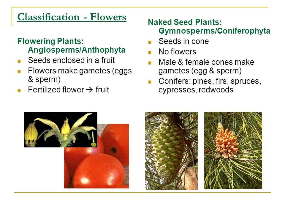 Classification - Flowers Flowering Plants: Angiosperms/Anthophyta Seeds enclosed in a fruit Flowers make gametes (eggs & sperm) Fertilized flower  fruit Naked Seed Plants: Gymnosperms/Coniferophyta Seeds in cone No flowers Male & female cones make gametes (egg & sperm) Conifers: pines, firs, spruces, cypresses, redwoods