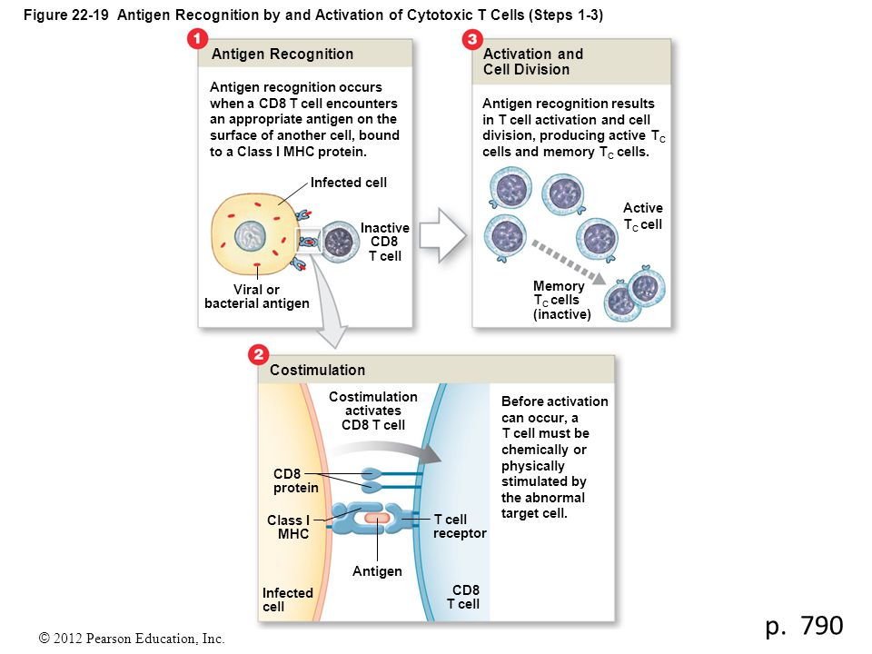 © 2012 Pearson Education, Inc. Figure 22-19 Antigen Recognition by and Activation of Cytotoxic T Cells (Steps 1-3) Antigen Recognition Activation and