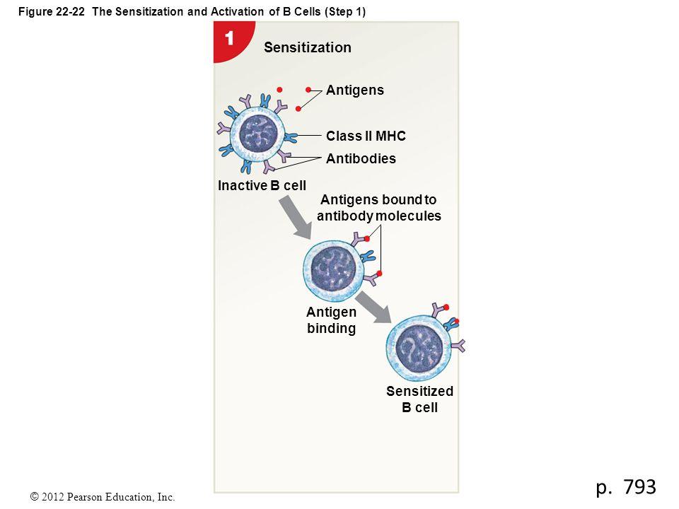 © 2012 Pearson Education, Inc. Figure 22-22 The Sensitization and Activation of B Cells (Step 1) Sensitization Sensitized B cell Antigen binding Antig